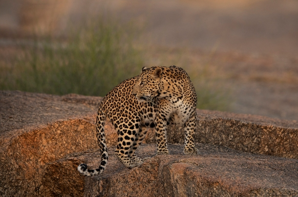 The Leopard Country – Jawai Leopard Reserve