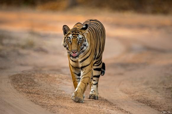 Where Tigers Rule